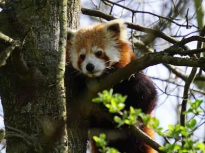 Kleiner roter Panda in einem Baum