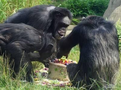Mehrere Affen teilen sich eine Torte