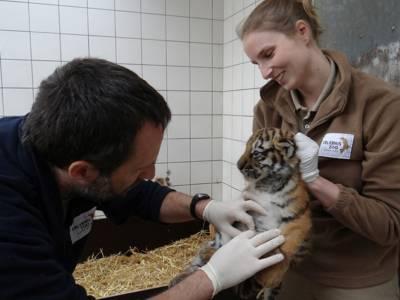 Mann tastet kleinen Tiger ab, den eine Frau festhält