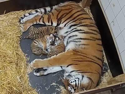 Großer Tiger kuschelt mit drei Jungtieren
