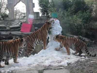 Vier Tiger und ein Schneemann