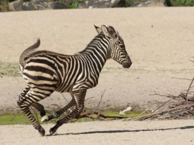Kleines rennendes Zebra