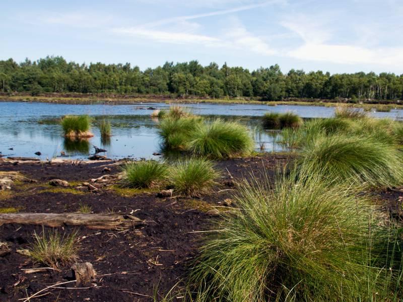 Moorlandschaft mit moorspezifischen Gräsern und anderen Pflanzen, der Boden ist feucht und torfhaltig.