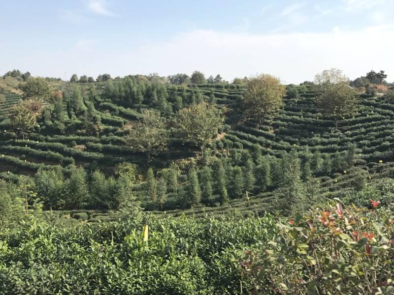 Grüner Hügel mit Teepflanzen