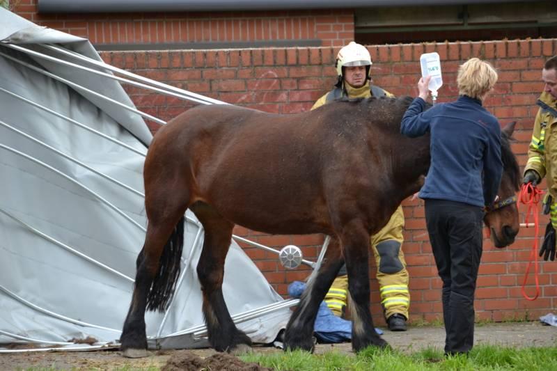 Nach Abklingen der Beruhigungsmittel konnte das Pferd von der Besitzerin auf eine nahegelegene Weide geführt werden