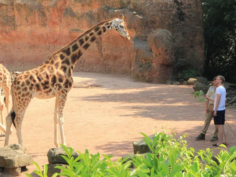Fußballprofi Per Mertesacker steht vor einer Giraffe.