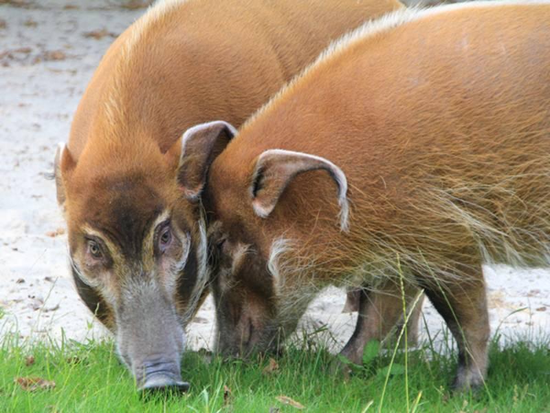Zwei Pinselohrschweine.