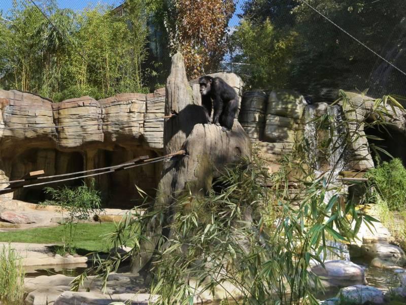 Ein Schimpanse inmitten eines grünen Außengeheges.