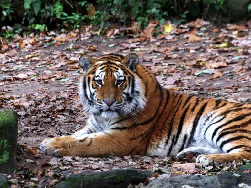 Ein Tiger liegt auf dem Bauch.