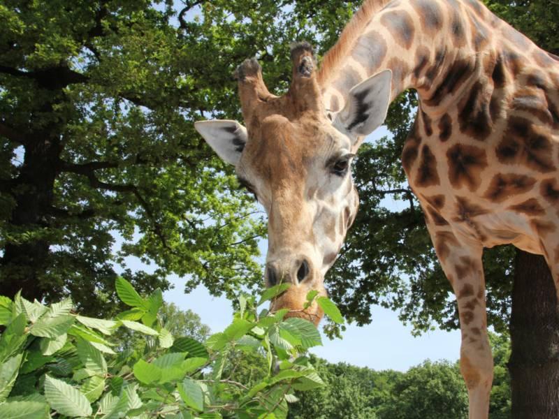 Eine Giraffe frisst.