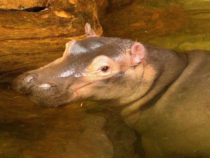 Flusspferd in einer Grotte