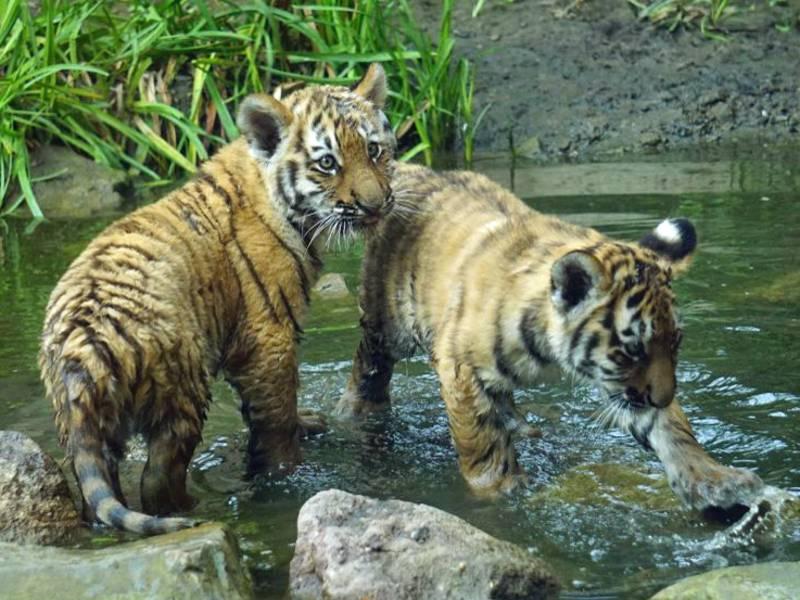 Zwei Tigerjunge in einer Wasserpfütze