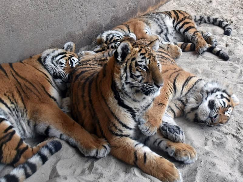 Vier Tiger kuscheln sich aneinander