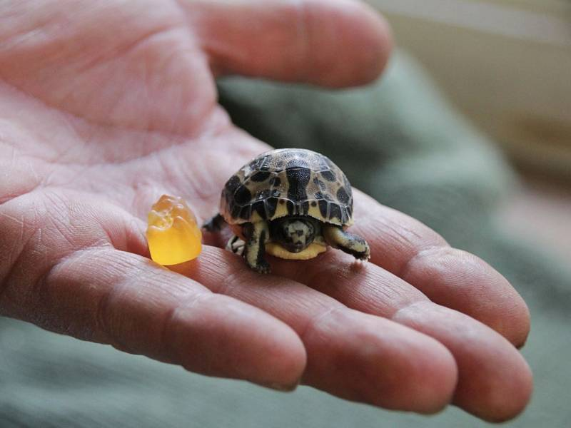 Mini-Schildkröte