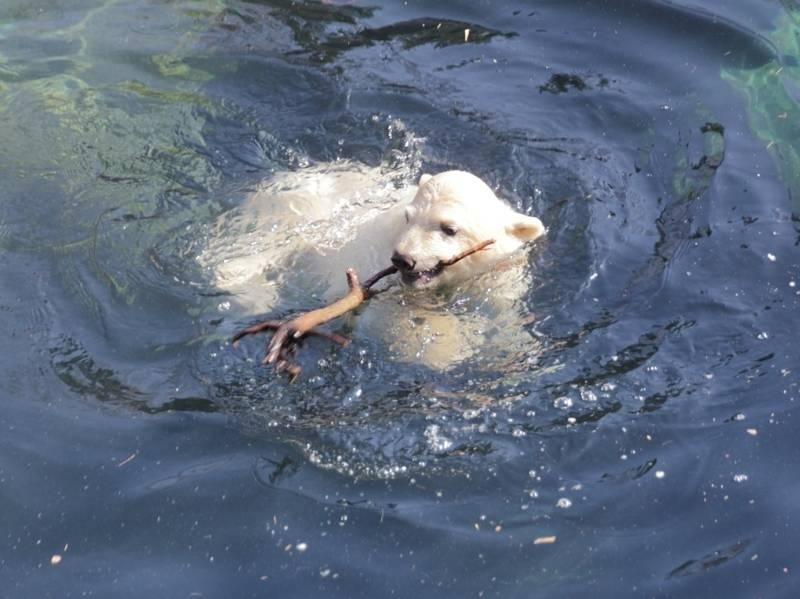Eisbär-Baby spielt im Wasser mit einem Stock.
