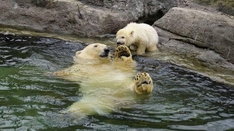 Eisbärin spielt mit Mutter im Wasser.