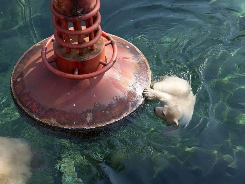 Eisbär-Baby im Wasser