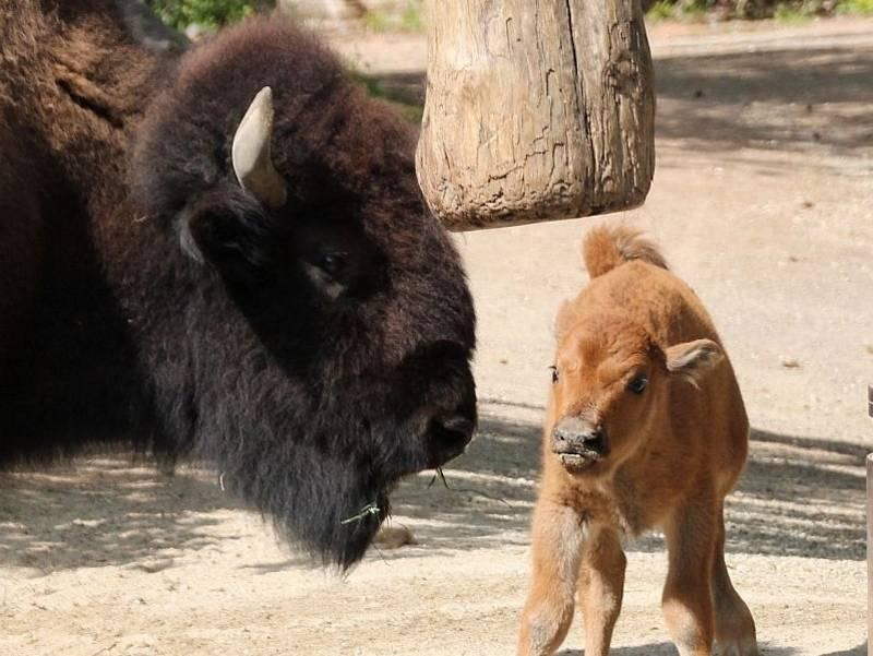 Bison-Baby steht vor der Mutter