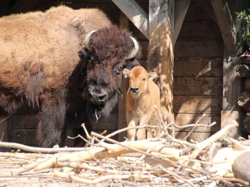 Bison-Baby mit Mutter