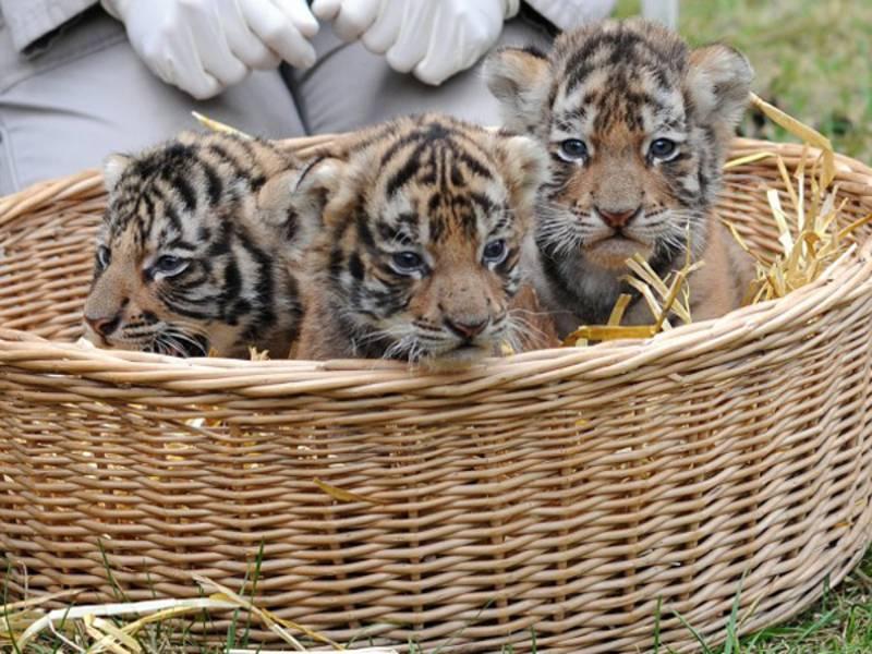 Drei kleine Tigerbabys sitzen in einem Korb.