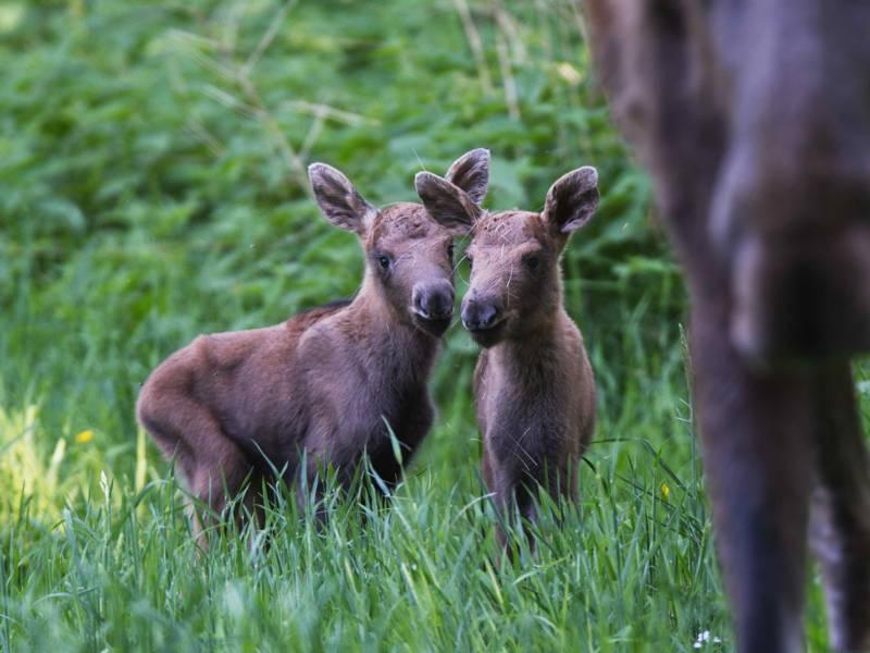 Zwei junge Elche.