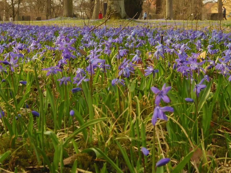 Blaues Blumenmeer