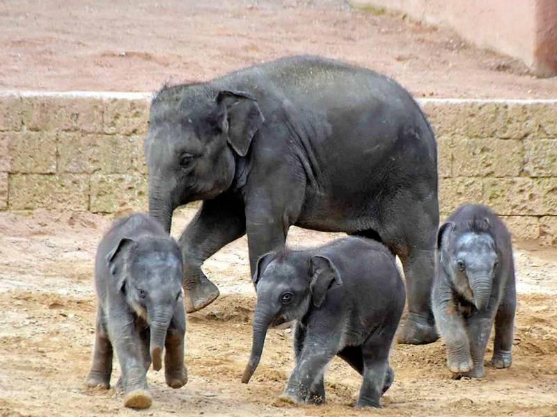 Drei junge und ein erwachsener Elefant.