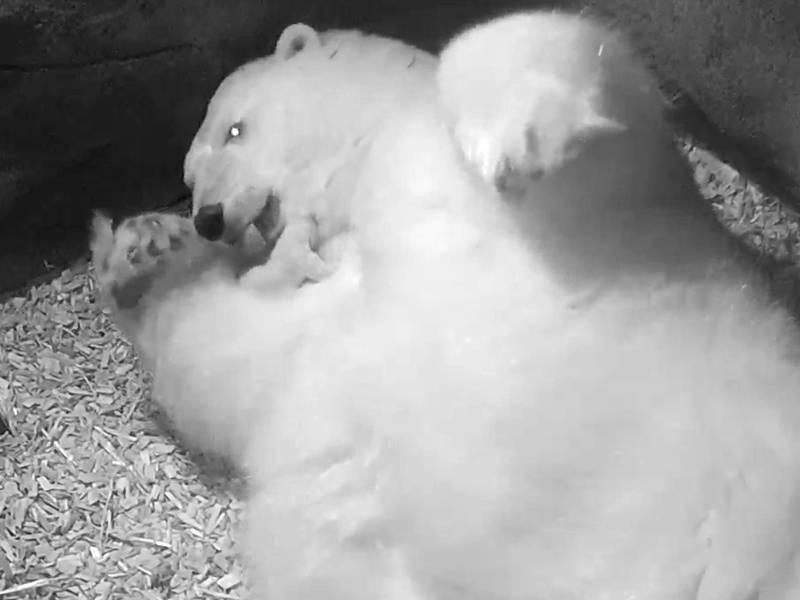 Großer Eisbär mit Eisbärenbaby