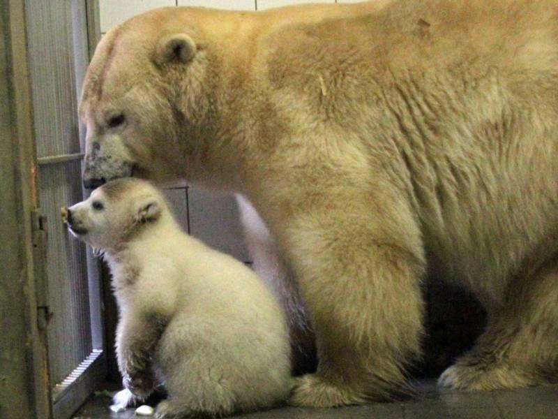 Eisbär-Jungtier und Mutter