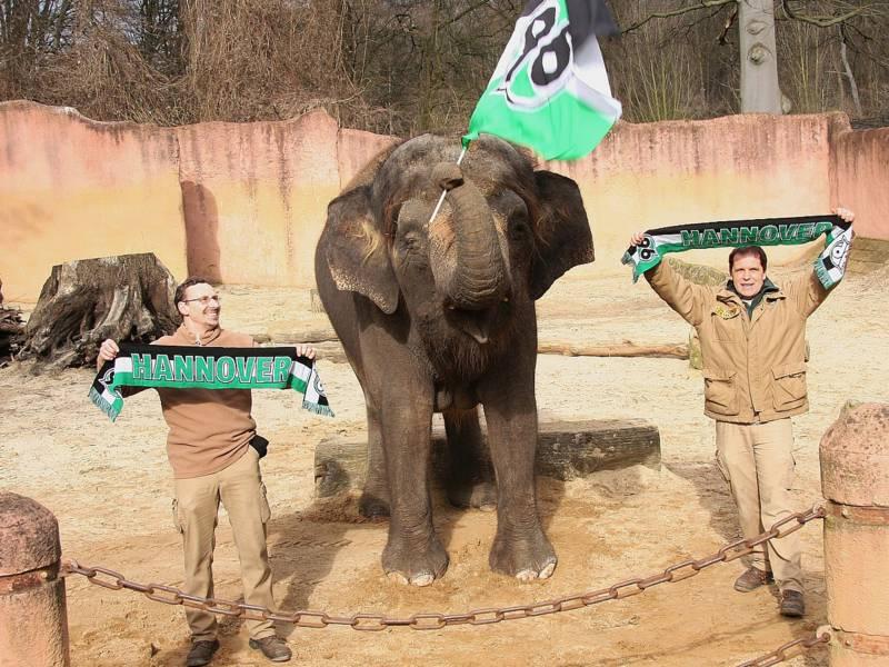 Zwei Tierpfleger und ein Elefant mit Hannover-96-Schals und Fahne.