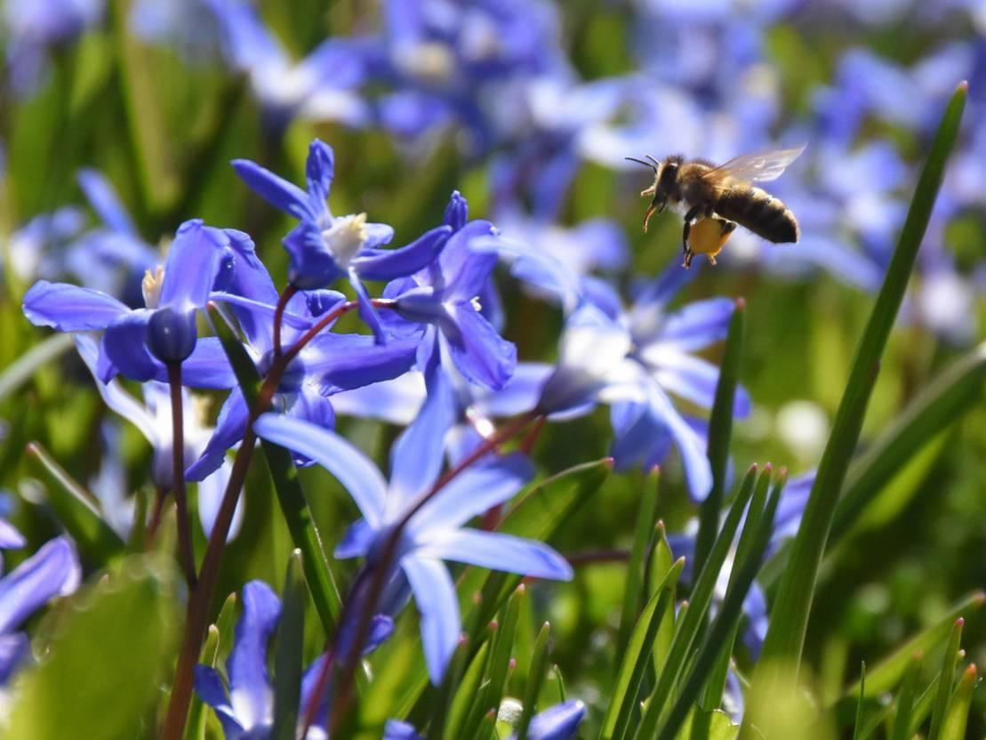 Scilla Blüten mit Pollen sammelnder Biene