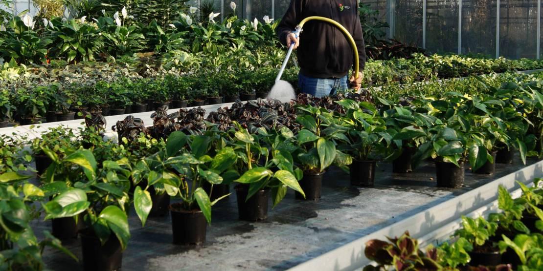 Eine Person, die Pflanzen in einem Gewächshaus gießt.