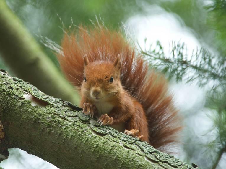 Ein Eichhörnchen in einem Baum.