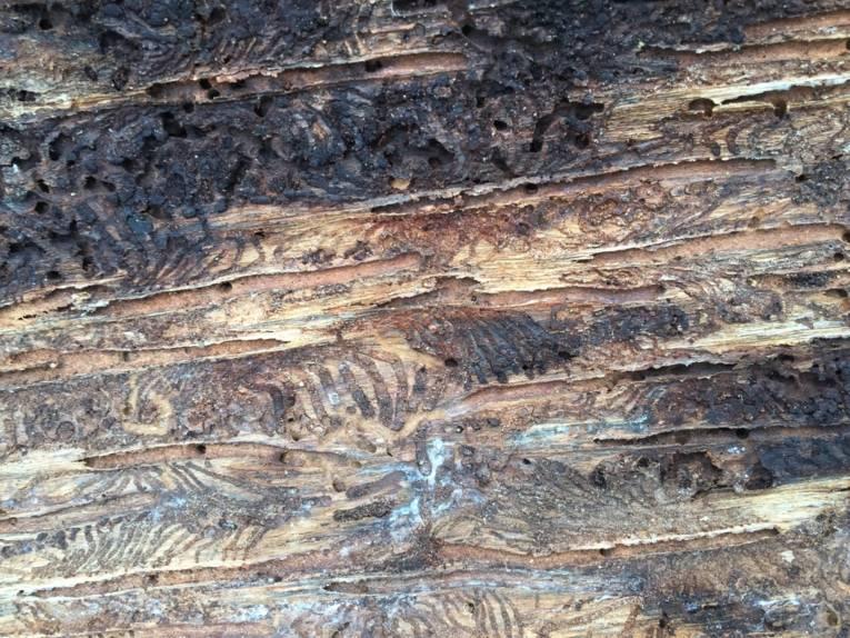 Ausschnitt eines Baumstammes mit vielen Spuren von Borkenkäfern