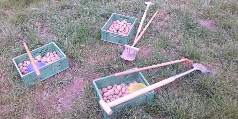 Drei grüne Kisten mit Kartoffeln auf einer Wiese. Außerdem liegen daneben insgesamt drei Harken und zwei Spaten.