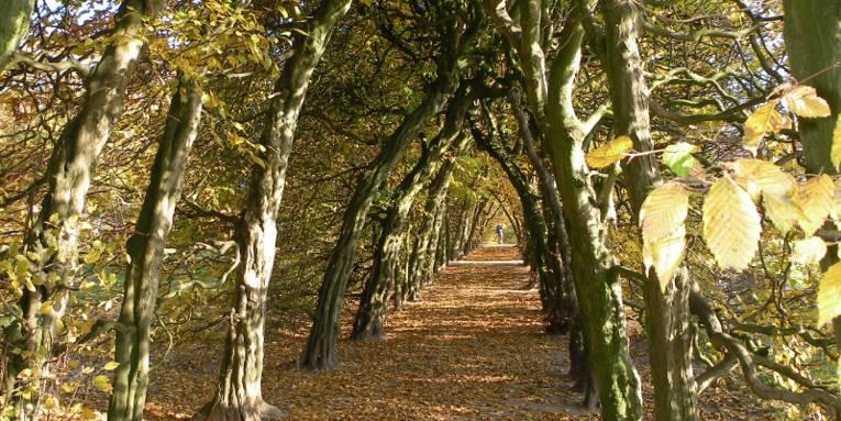 Ein Sandweg wird links und rechts von Hainbuchen gesäuft. Oben stoßen die Baumkronen aneinander, so dass ein tunnelartiger Gang entsteht. Es ist Herbst, die Blätter der Bäume sind gelblich verfärbt und fallen zu Boden.