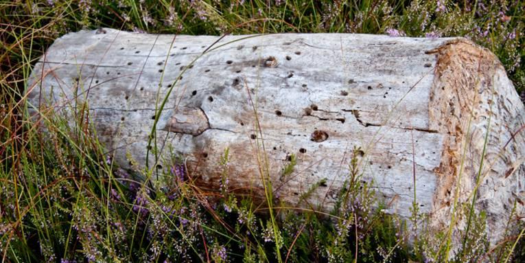 Stück eines abgestorbenen Baumstamms, der in blühender wilder Heide liegt