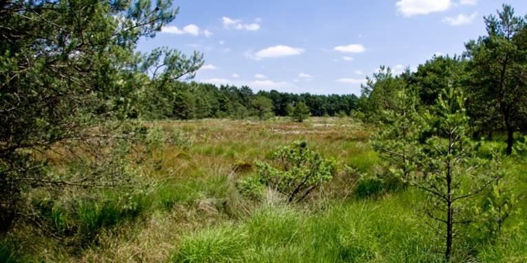 Nadelbäume, Gras- und Binsenbüschel, im Hintergrund Wald