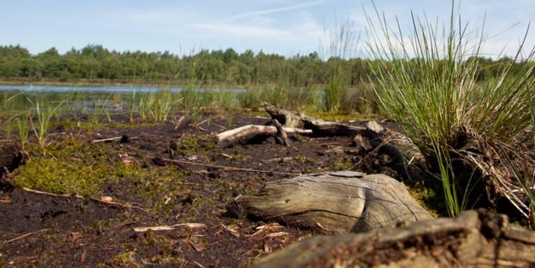 Moorlandschaft mit abgestorbenem Holz und Binsen