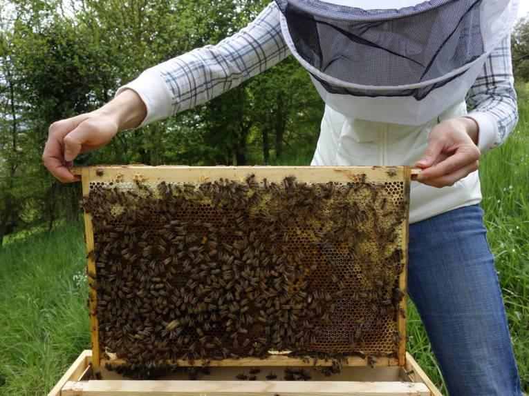 Imker mit Haube, der eine Wabe aus einem Bienenstock nimmt