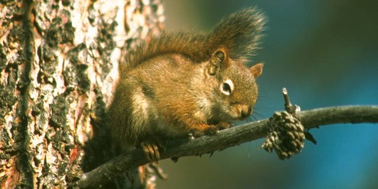 Ein Eichhörnchen auf einem dünnen Ast