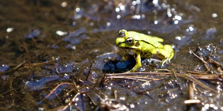 Von der Sonne beschienener grüner Frosch im schwarzen Moor