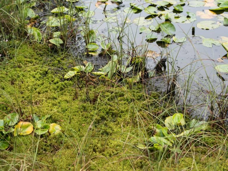 Moos, Wasser und Blätter von Seerosen
