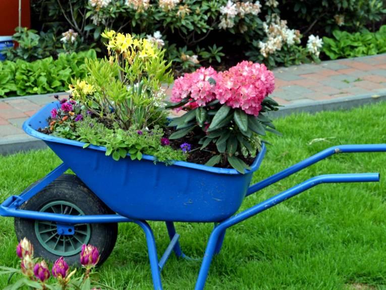Verschiedene Blütenpflanzen stehen auf der Ladefläche einer blauen Schubkarre. Die Schubkarre ist entweder als Blumentopf umfunktioniert oder sie dient dem Transport der Pflanzen zum neuen Standort.