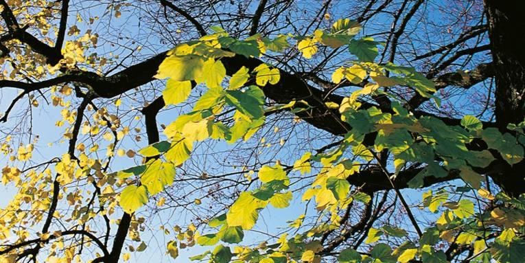 Hellgrüne Blätter von Sonnenlicht durchflutet
