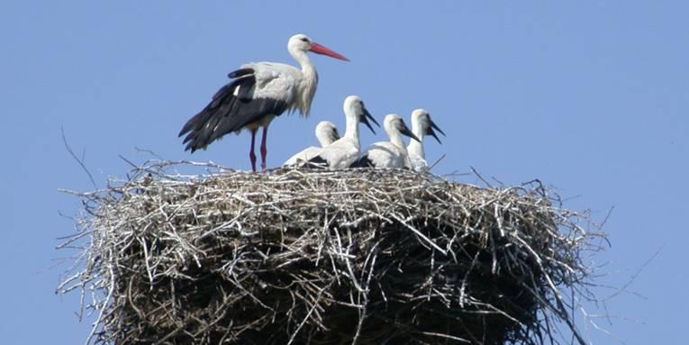 Storchenfamilie in ihrem Horst