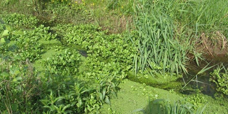 Wasserpflanzen in einem Bachlauf