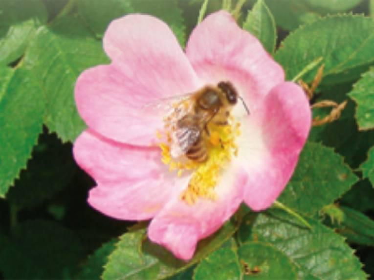 Blüte einer Hunds-Rose mit honigsammelnder Biene