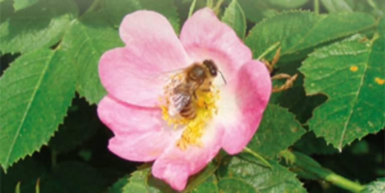 Blüte einer Hundsrose mit honigsammelnder Biene