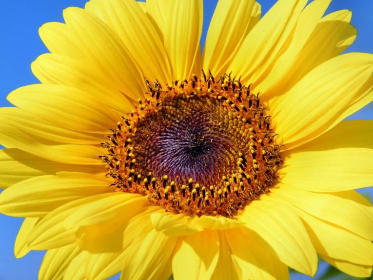 Sonneblume vor blauem Himmel